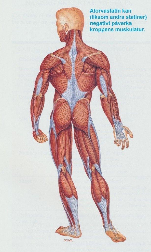 atorvastatin biverkningar muskulaturen